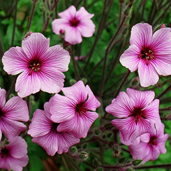 Photograph of Geranium maderense